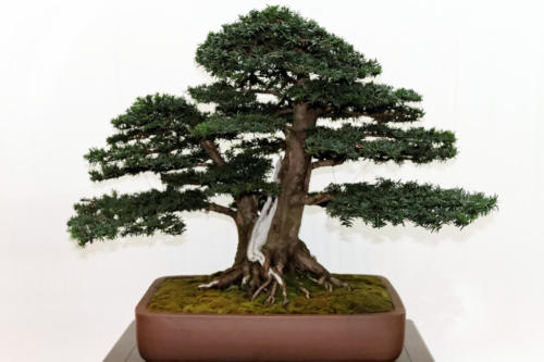 Bonsai_Remscheid_32