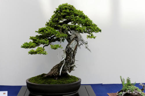Bonsai_Remscheid_34
