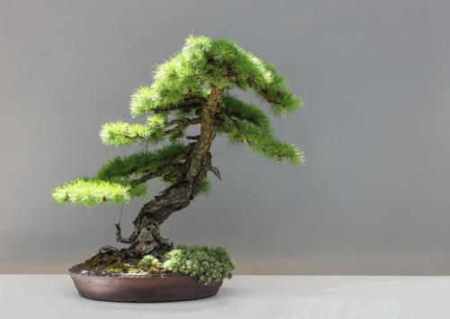 bonsai-1805499