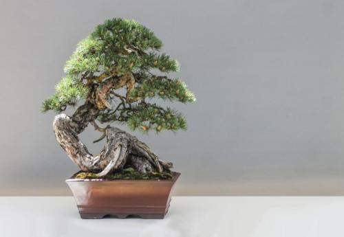 bonsai-1805501