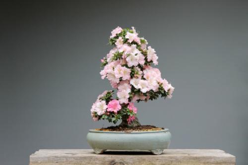 bonsai-3125722_1920